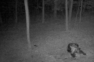 Medvede šarapatia