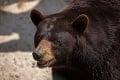 Z prechádzky so psami sa už nevrátila: Medveď roztrhal ženu († 62)