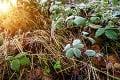 Záhradkári zaplačú: Meteorológovia varujú pred nízkymi teplotami i prízemným mrazom