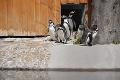 Zoznámte sa! V košickej ZOO dostanú tučniaky svoju tabuľku