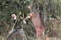 Svet naruby: Jeleň loví poľovníka