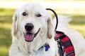 Zlatý retriever Sampson vyzerá ako každý iný pes: Jeho schopnosti vás ohúria