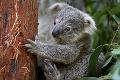 Mláďa prišlo na svet rok po požiaroch v Austrálii: Koala hviezdou zoo