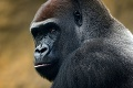 Tieto zábery vojdú do dejín: V Nigérii odfotili kriticky ohrozené gorily! Aha, s kým ich prichytili