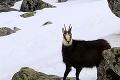 Prednosť dostali svište a kamzíky: Skialpinisti sa do Vysokých Tatier už nedostanú