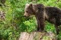 Záchranná akcia: Zásahový tím ratoval medvedie mláďa, ktoré ostalo zakliesnené pod pletivovou sieťou