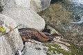 Dobrovoľníci pri čistení Jasnej zachránili zranené mláďa, jeho osud je neistý: Vráti sa ešte malý  jelenček k mame?!