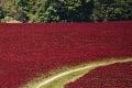 Pole s červenou ďatelinou vlani zničili davy ľudí kvôli fotkám: Záškodníci majú stopku, pri kvetoch svieti TOTO!