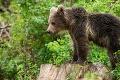 Dôležité upozornenie: V okolí obce na západe Slovenska sa pohybuje medvedica s mláďatami!