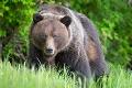 Buďte ostražití! Poľovníci upozorňujú na zvýšený pohyb medveďov v okolí obce v okrese Prievidza