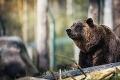 Hrozivé stretnutie so šelmou: Cyklistku v Kežmarku ohrozil medveď, polícia varuje občanov