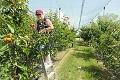 Na juhu sa začal samozber obľúbeného ovocia: Do sadu sa nedostane každý!