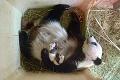 Pandy konečne odhalili tajomstvo svojho apetítu: Čierno-bieli žrúti bambusu sú plní prekvapení