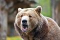 Pezinčania sa kvôli medveďovi boja ísť do lesa: Odpoveď ochranárov vás dorazí! Veľký zvrat
