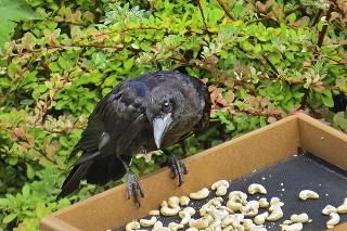 Vrany máju najradšej nelúpané arašidy.