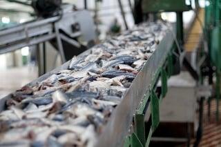 conveyor belt with fresh fish