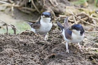 The common house martin (Delichon urbicum) sits on the ground