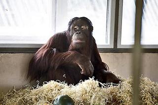 Nový domov: Ako sa zdá, Kiran si na ruskú zoo rýchlo privykol.