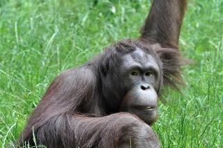 Nezbedný orangutan odcestoval do Ruska v utorok.