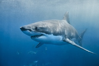 Žralok modrý.
