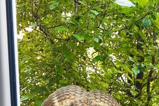 Myšiarky ušaté hniezdia v obciach a sú zákonom chránené.