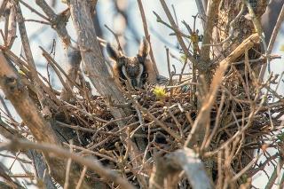 Long eared owl nesting (Asio otus) Owl in nest