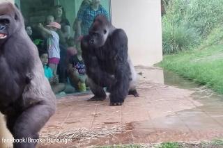 Podobnosť s nami je komická: Ľudia sa zabávajú na výrazoch goríl, ktoré sa snažia skryť pred dažďom!