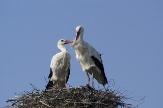 White stork at nest