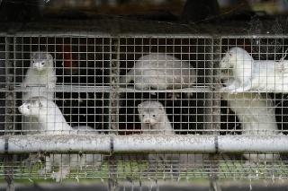 Dánsko, najväčší producent kožušín z noriek, v stredu 4. novembra 2020 oznámilo likvidáciu všetkých týchto zvierat