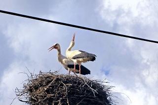 V meste majú 24 hniezd a jedno obsadil aj Klaudius s partnerkou.