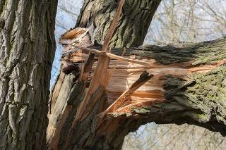 broken fallen trunk old poplar tree