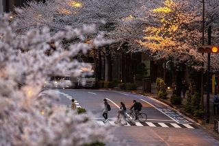 Japonsko sa zahalilo do kvetov rozkvitnutých sakúr.