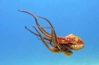 Chobotnice -