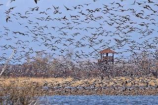 Obrovské kŕdle divých vtákov takto lietajú v okolí Zemplínskej šíravy.
