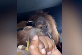 Briti si spravili párty v luxusnom aute: Nebudete chápať, čo stvárali s orangutanom