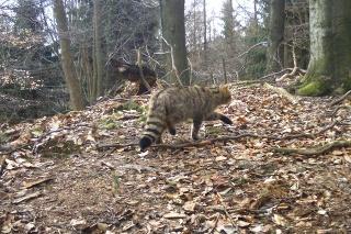 Česi a Slováci spolupracujú na projekte ohľadom mačky divej.