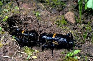 Svrček: Kopuluje s jedinou samičkou až 50-krát.