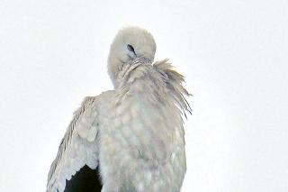 Mladý bocian