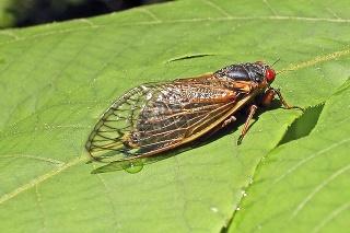 Vo veľkých množstvách robia cikády škody na listoch stromov.