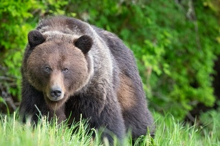 Brown Bear, Ursus arctos, Khutzeymateen Provincial Park, British Columbia, Canada