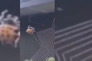 Zázraky prírody: Pohľad zblízka na pavúka, ktorý si pletie pavučinu