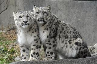 Leopard snežný (ilustračné foto).