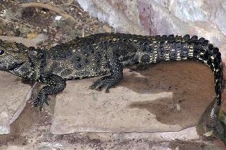Zhruba metrový krokodíl utiekol chovateľovi zo záhrady.