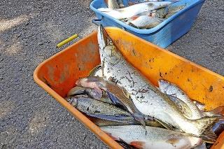 Dospelé ryby aj nedávno vytreté kúsky skončili v kafi lérii.