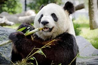 Čierno-bieli medveď: Biela srsť pandu maskuje v snehu a čierna v tieni stromov.