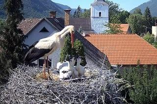 10. júna - Tienenie mladých bocianov v hniezde.
