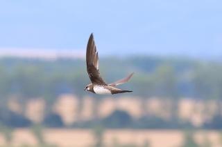 Na Slovensku sa zahniezdil nový vtáčí druh, dážďovník skalný.