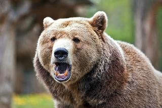 Medvede sa vyskytujú už aj v oblastiach, ktoré pre ne nie sú prirodzené.