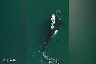 To je krásne! Veľryba plutvou posunula paddleboard, na ktorom sedela žena