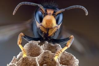 Typický výzor: Žltosfarbená tvár a mandľové oči sú poznávacím znamením tohto sršňa.